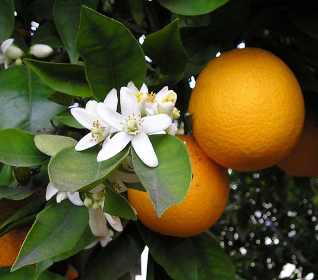Zakaj bi morali jesti več citrusov?